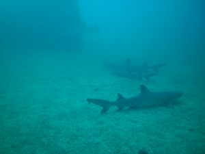white tip reef sharks at wreck in Costa Rica