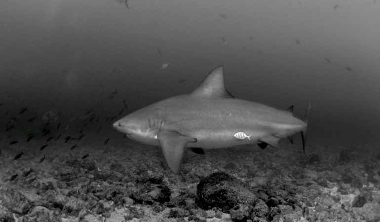 Bull Sharks Bat Islands Costa Rica