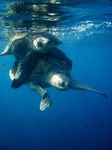 Turtle at Punta Gorda Costa Rica
